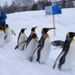 ペンギンのお散歩@旭川動物園(旭川市)