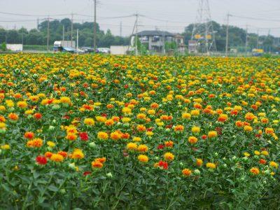 ベニバナ畑(埼玉県桶川市)ウィキペディア参照