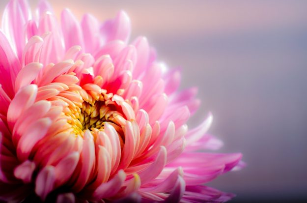 赤い菊:Pixabay参照