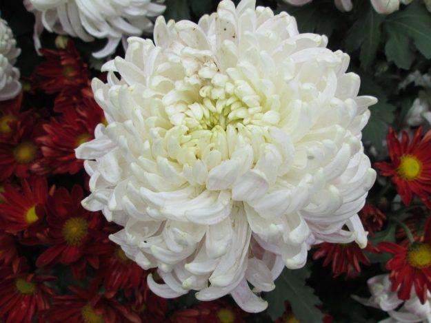 白い菊:Pixabay参照