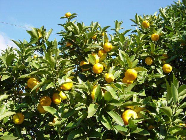 橘の実(写真参照:Wiki)