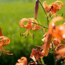 オレンジ色に輝くユリの花