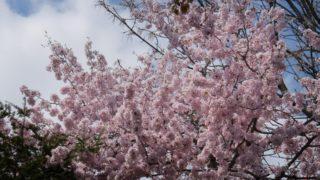 美しくも儚い桜花