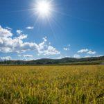 北竜町の風景「黄金に染まる稲穂」